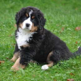bernese-mountain-dog-1177072
