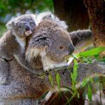koala-61189